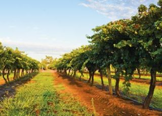 Lillypilly Estate Wines, Riverina