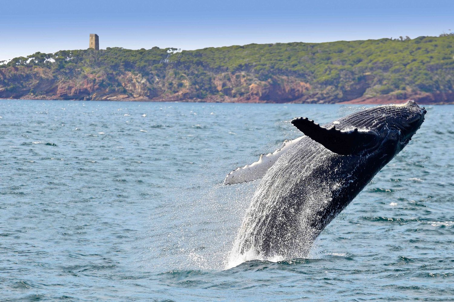 Whale Breaching off the coast of Eden, with Boyds Tower in the background.