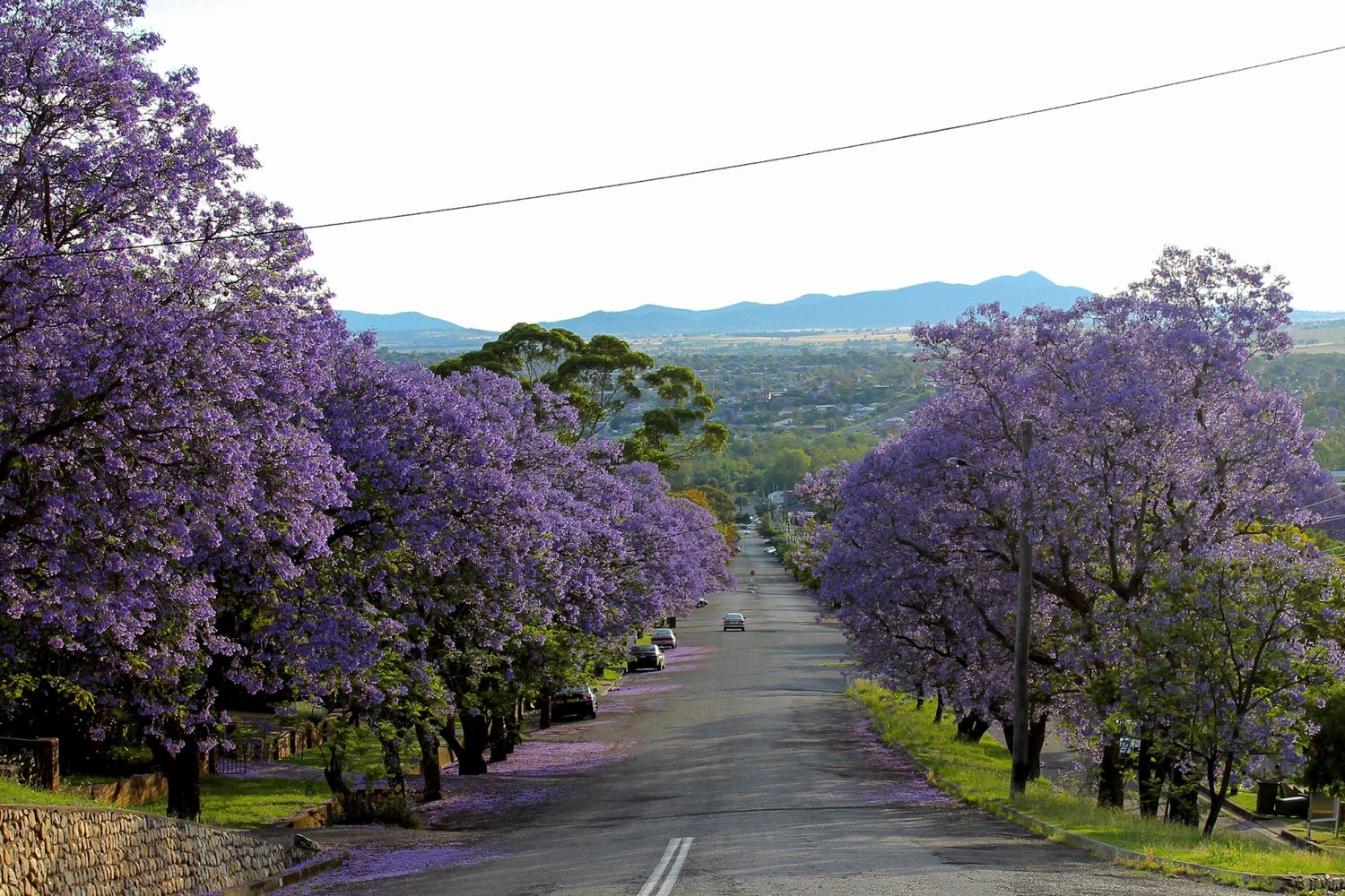 A pretty streetscape of blooming Jacaranda trees, Tamworth