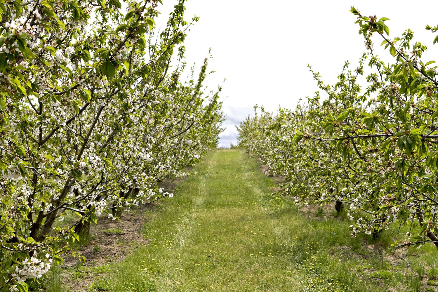 A cherry orchard blossoming in Young, Australia's cherry capital