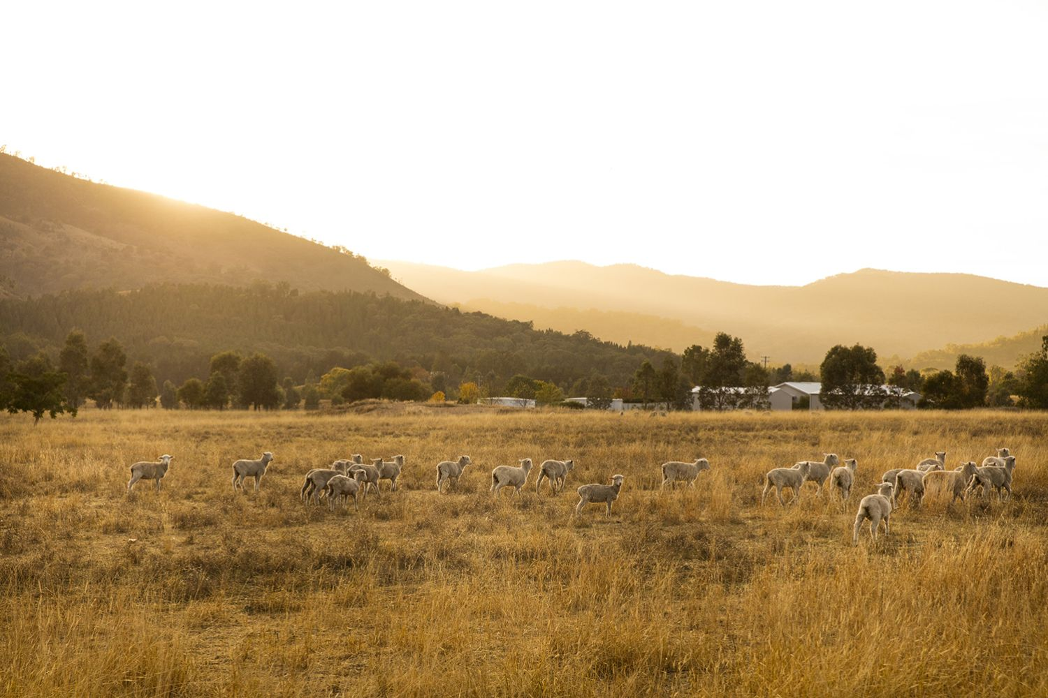 Sheep grazing, Mudgee in Country NSW