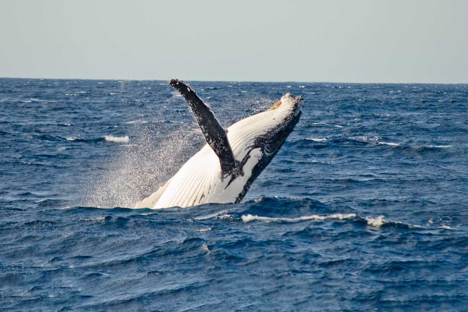 A whale breaches out of the water off Sydney waters