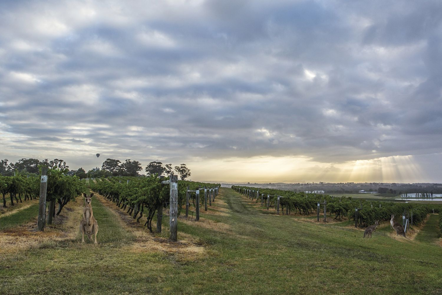 Scenic view of the vineyard at Hermitage Road Cellars, Hunter Valley Resort in Pokolbin, the Hunter Valley