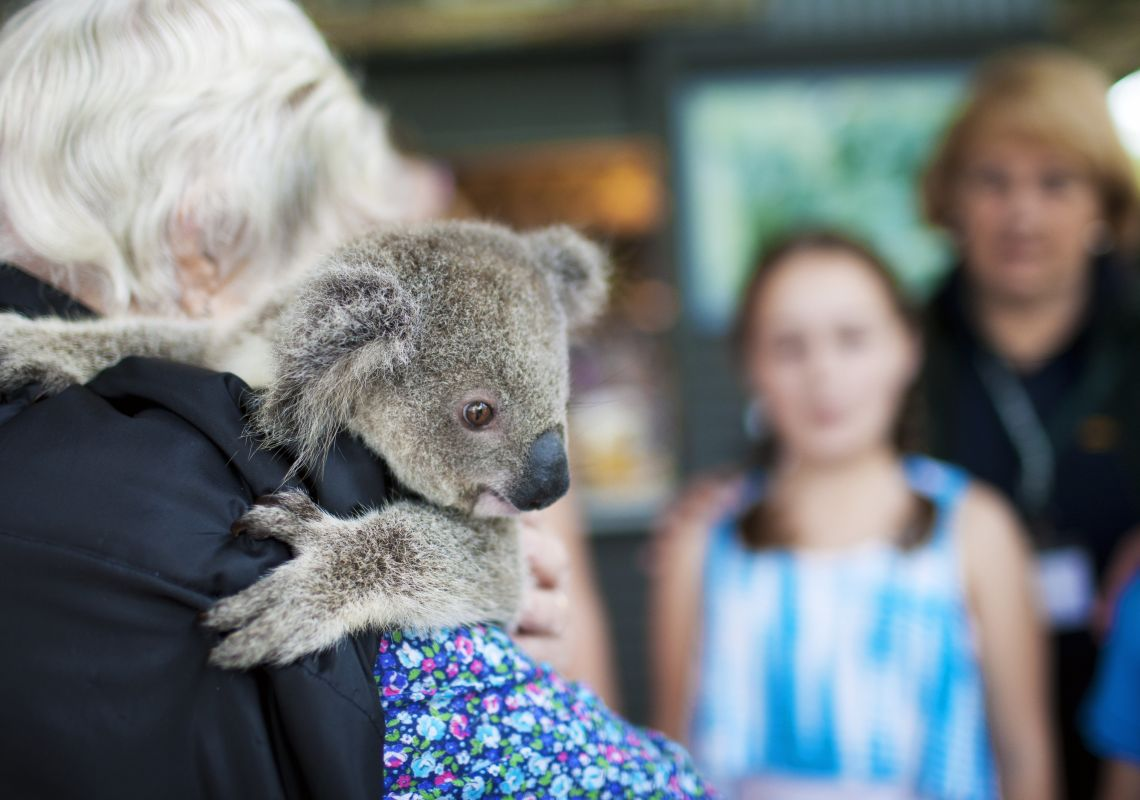 A koala at the Port Macquarie Koala Hospital, North Coast