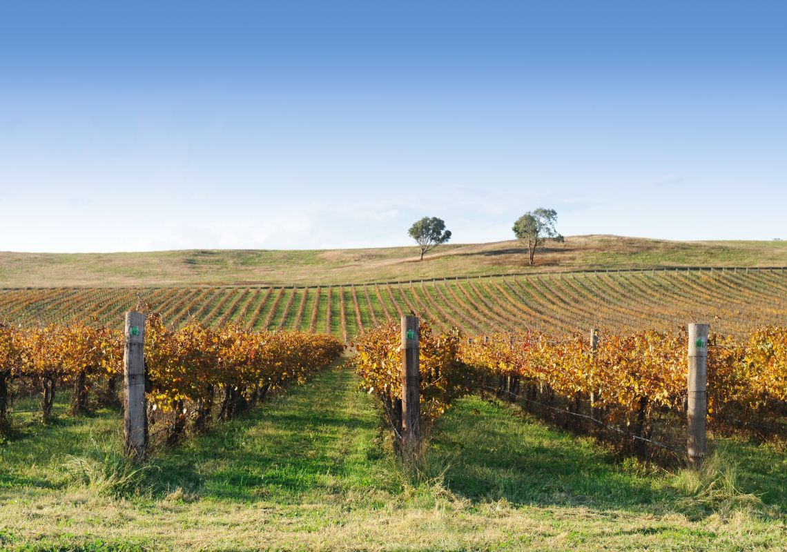 Grape vines ripening in the Mudgee wine region, NSW