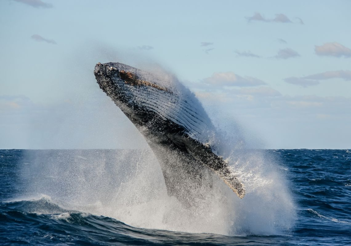 The spectacular sight of a whale breaching off the NSW coast