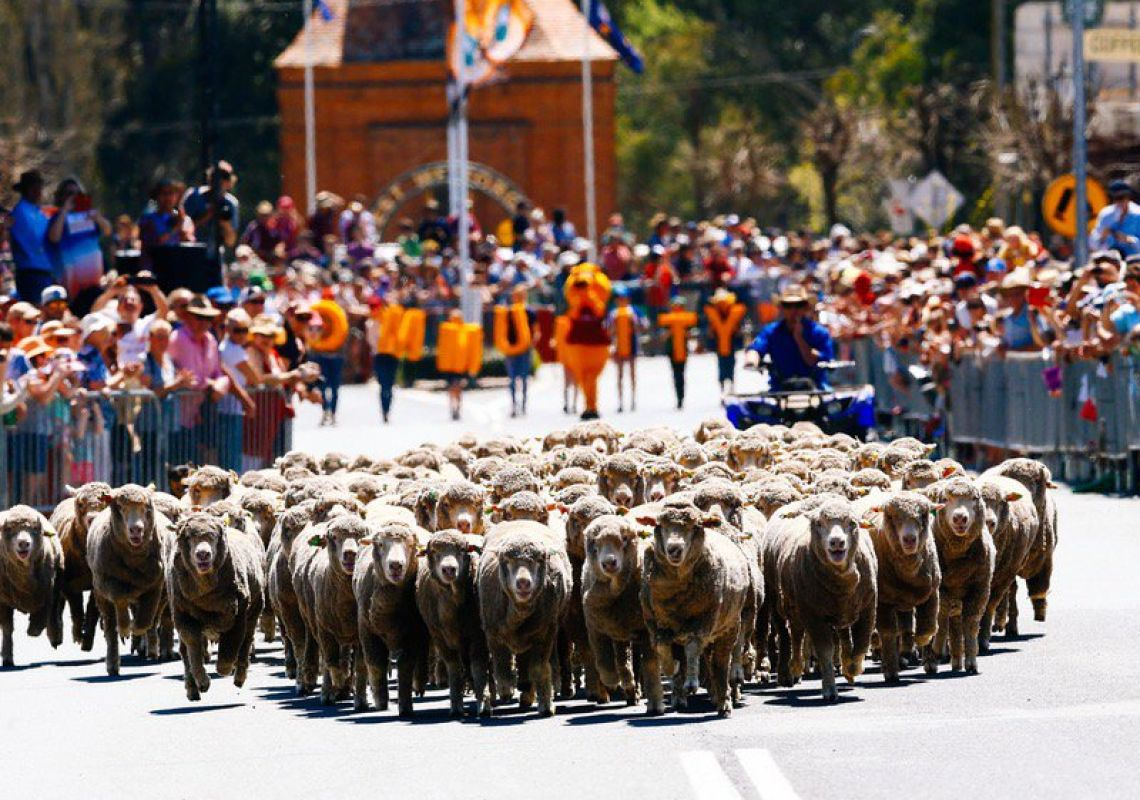 The Running of the Sheep at the Irish Woolfest, Boorowa