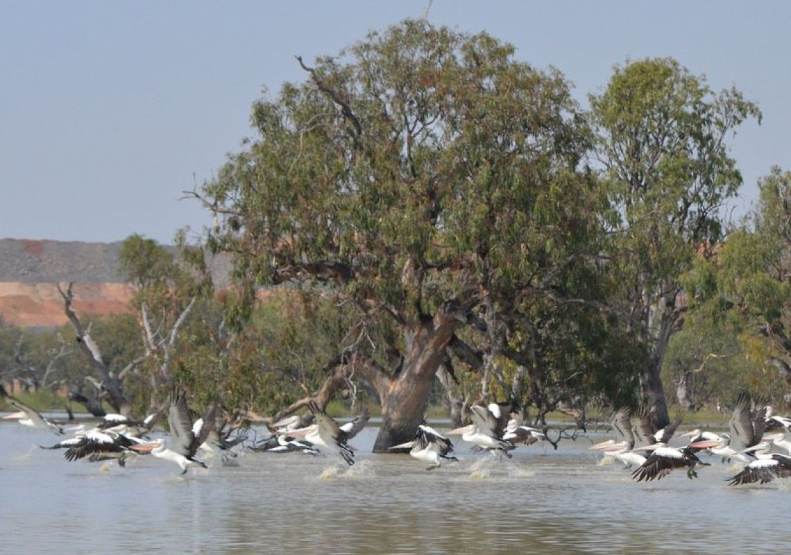 Pelicans taking flight at Lake Cowal, near West Wyalong