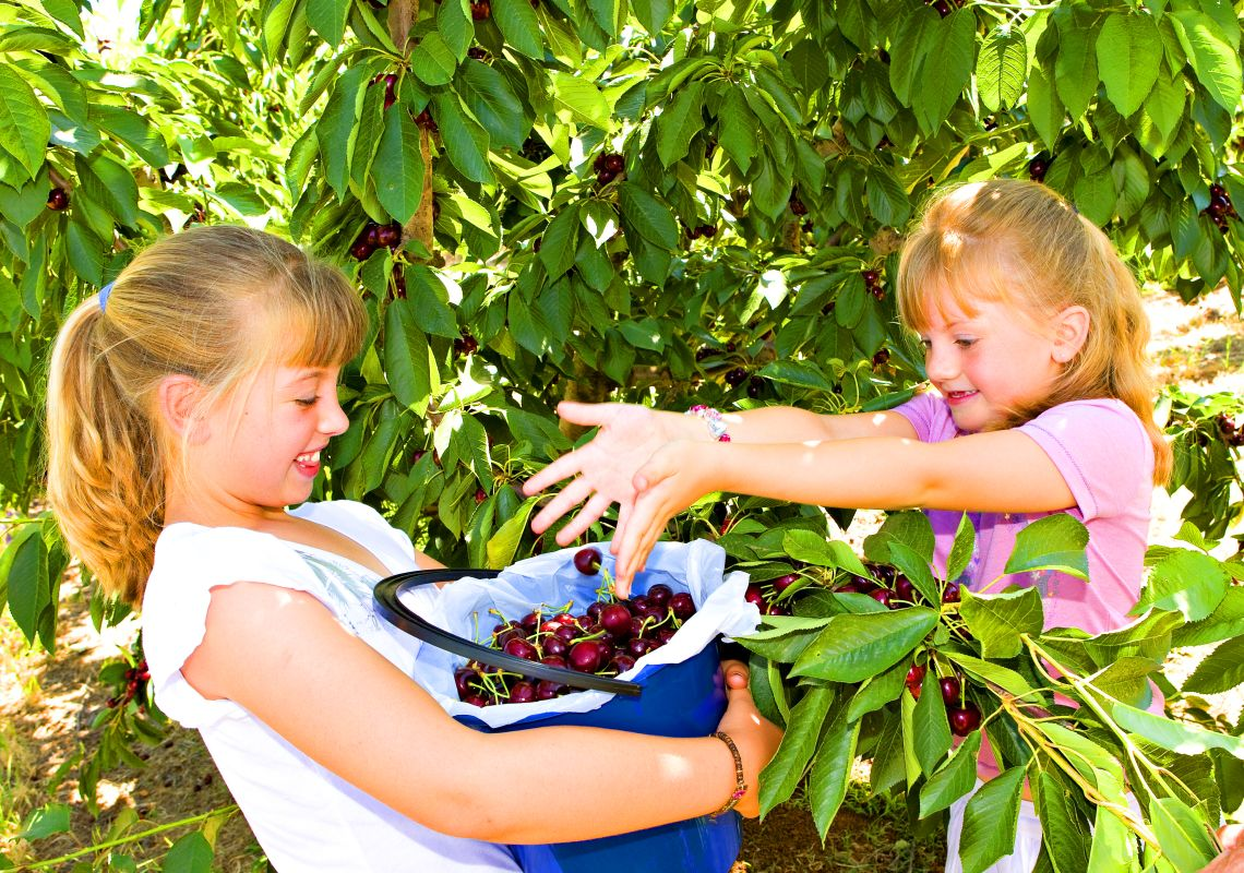 Two girls picking cherries at the Cherry Haven Orchard, Young