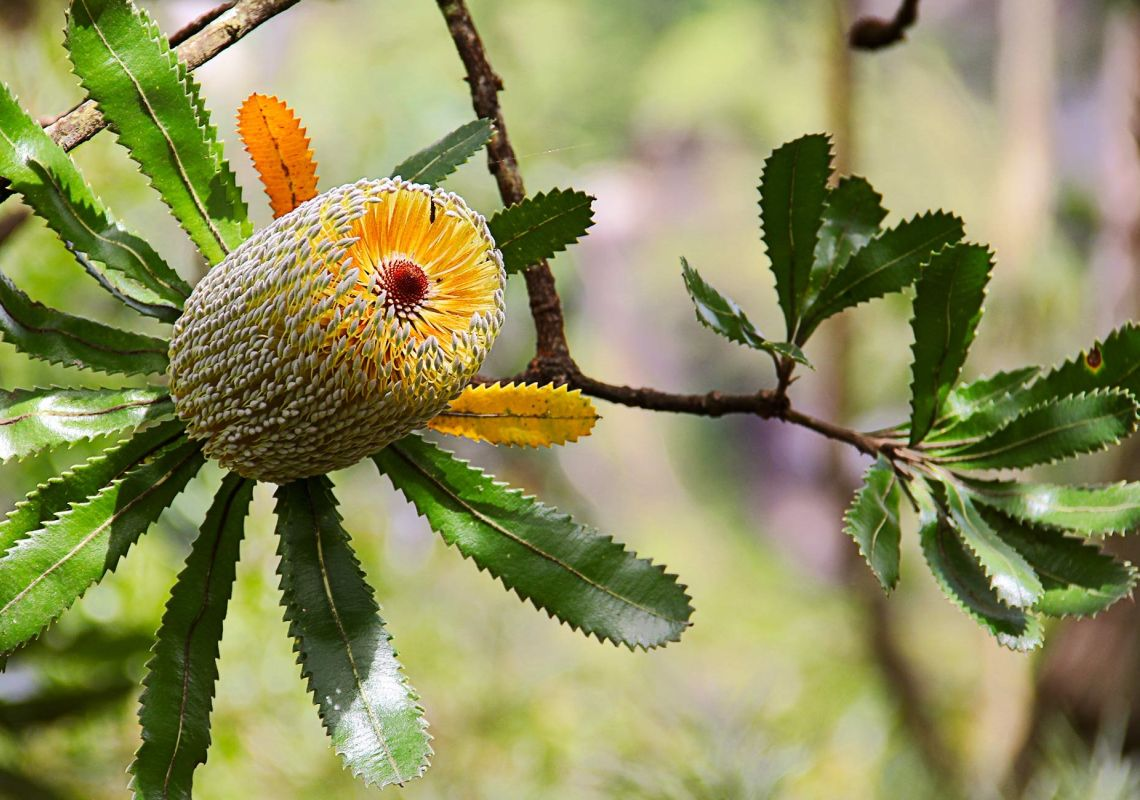 An old man banksia flower blooming yellow-green, Fitzroy Falls