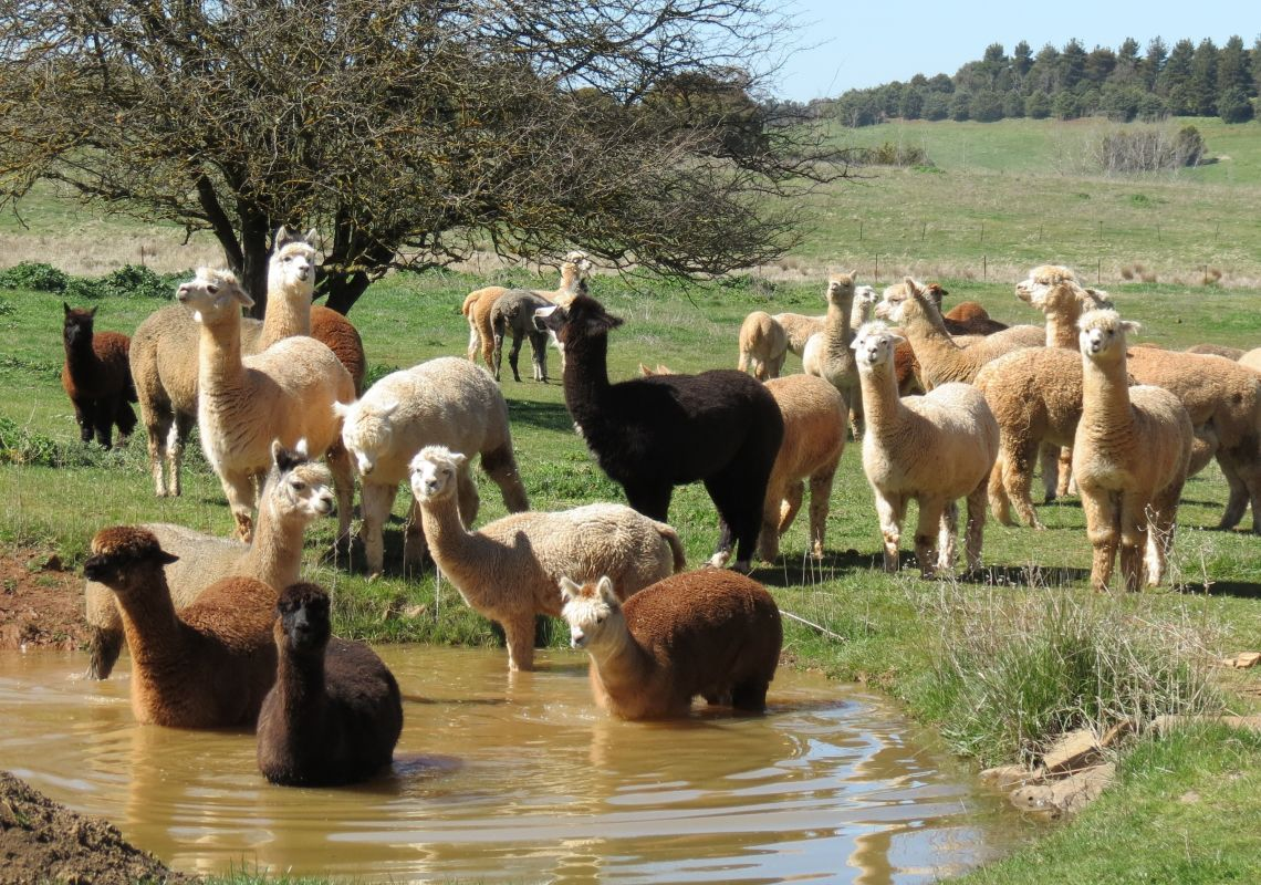A herd of alpacas at a waterhole, Alpaca Farm Experience, Crookwell