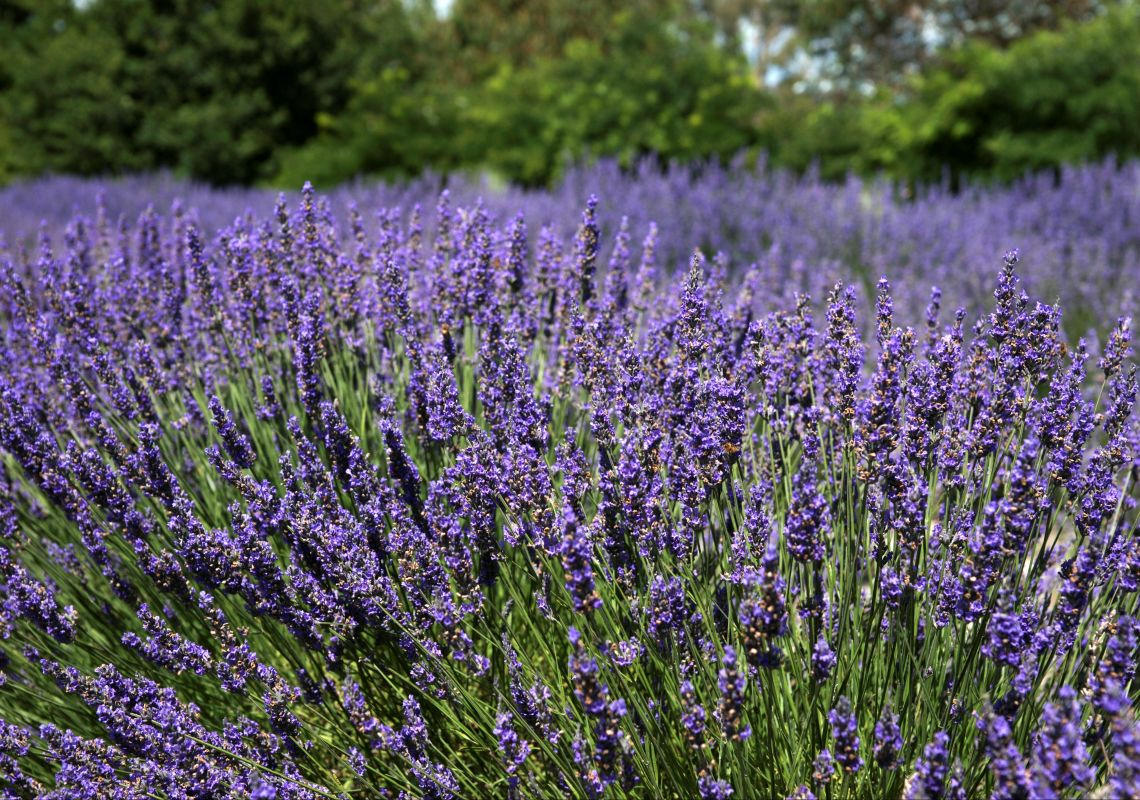 Lavender blooming at Crystal Brook Gardens and Lavender Farm, Laggan