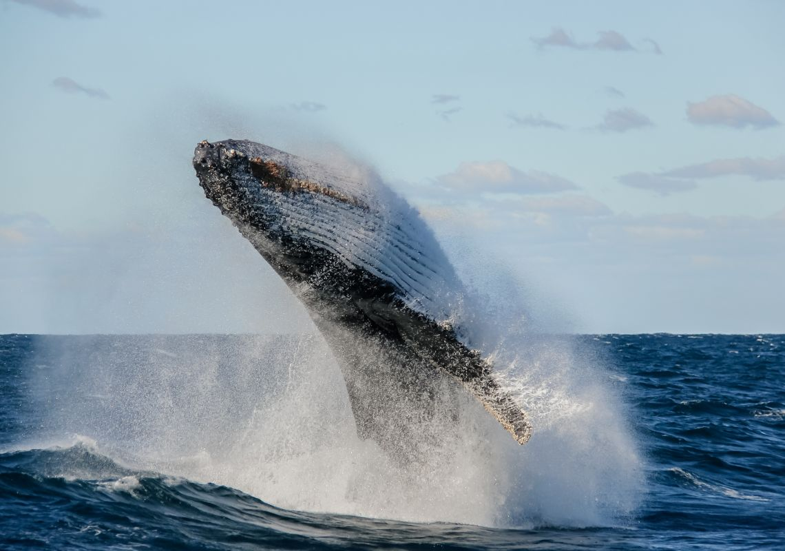 Humpback whale breaching and rolling, Coffs Coast, NSW