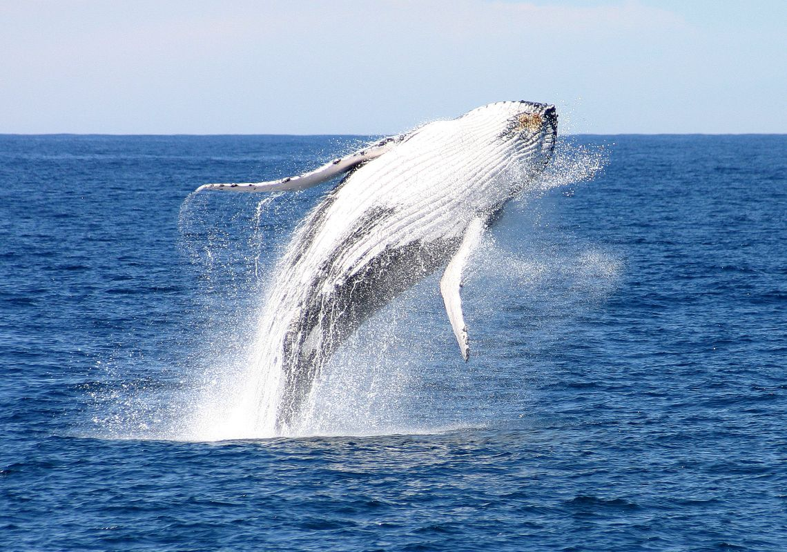 Humpback whale breaching in Port Stephens, NSW Australia