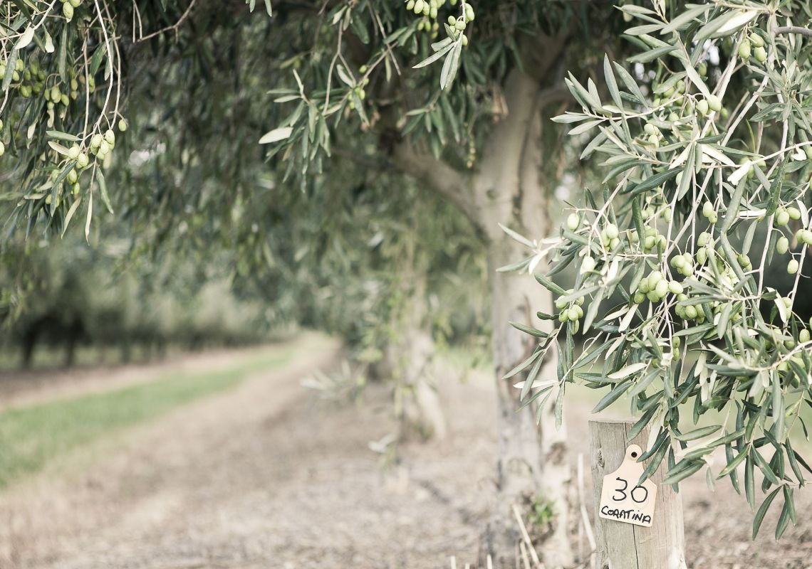 Olive trees in Pukara Estate, Muswellbrook