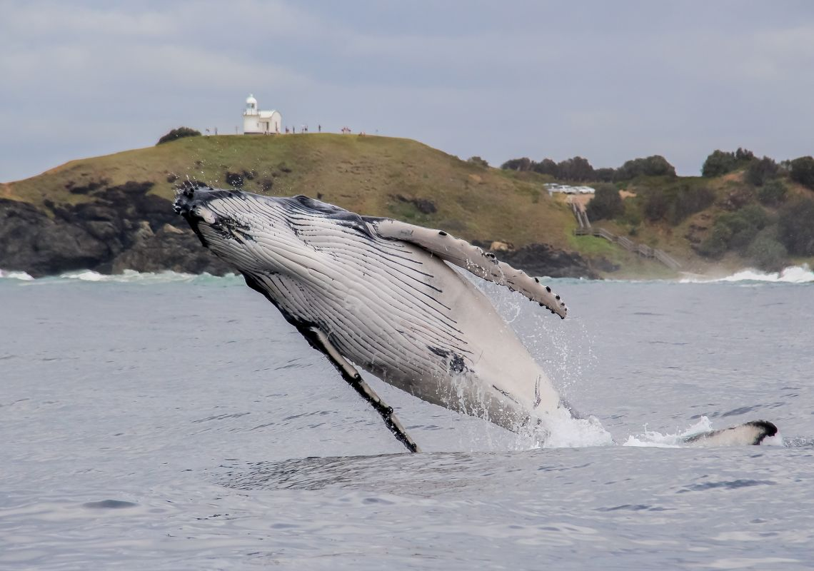 A humpback whale breaching near Tacking Point Lighthouse, Port Macquarie