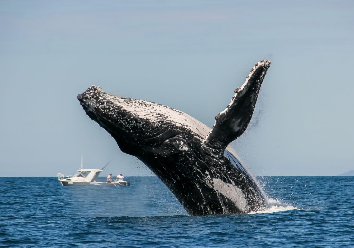 People watch whale breaching off the NSW coastline