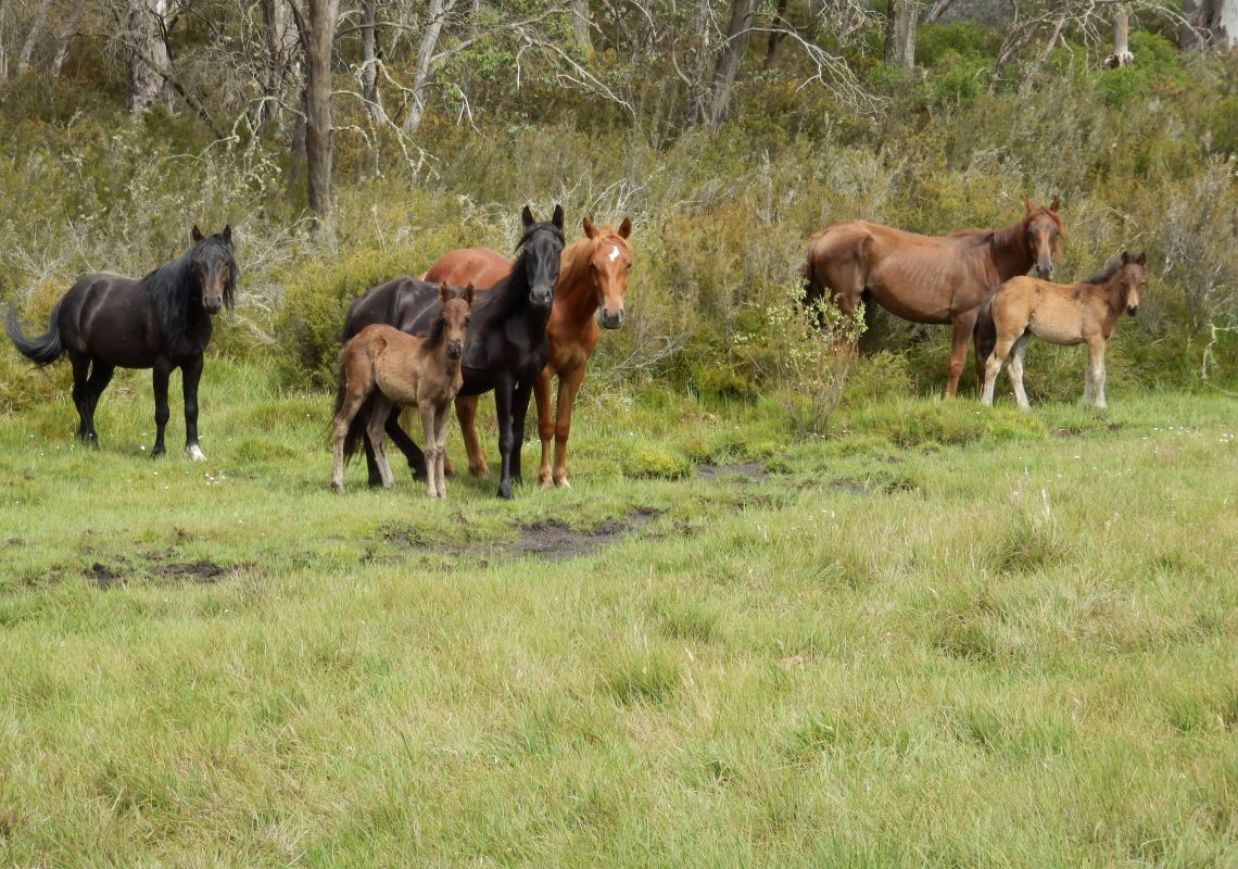 Mountain Ash Trails - Wild Brumbies - Snowy Mountains