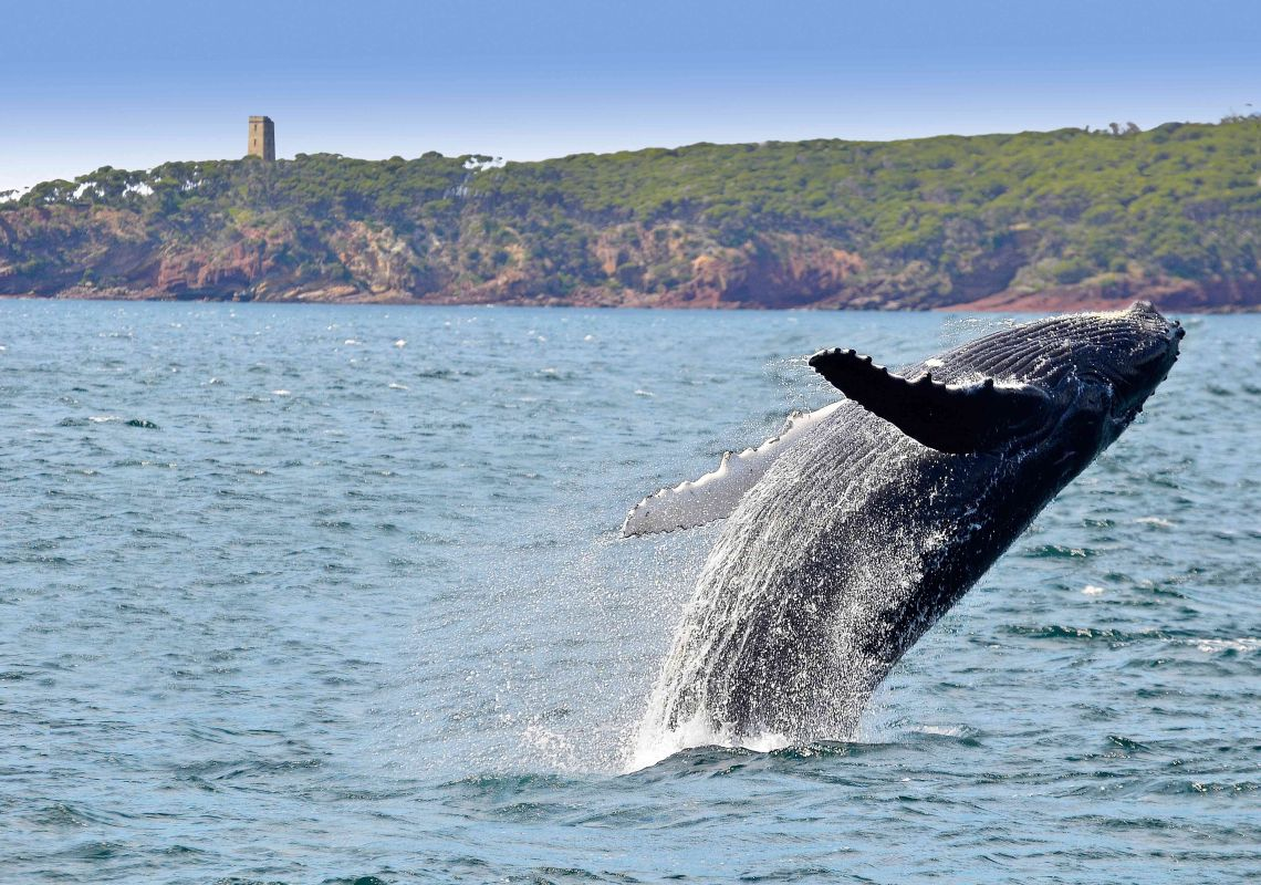 Whale breaching in front of Boyds Tower - Eden - South Coast