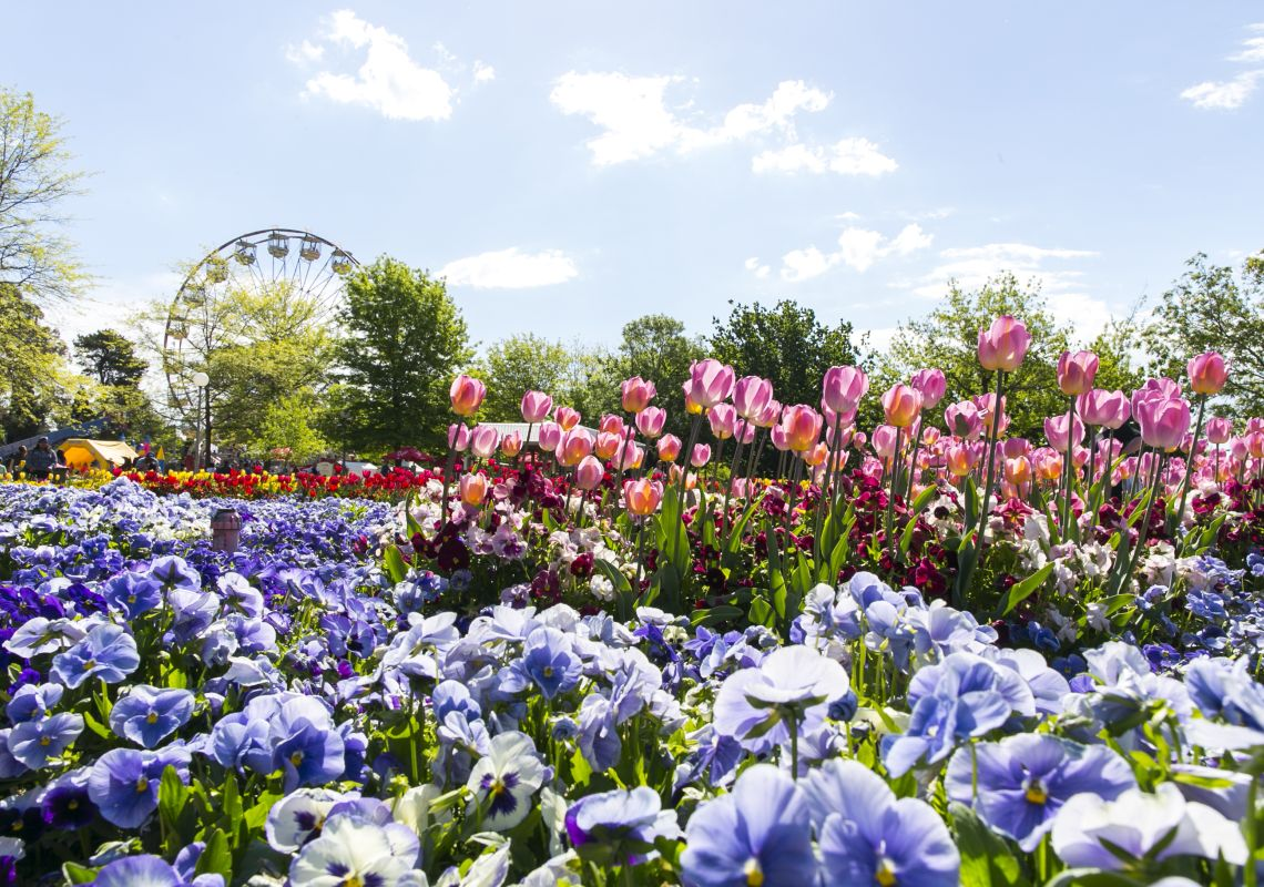 Pink and blue flowers blooming at Floriade, Canberra