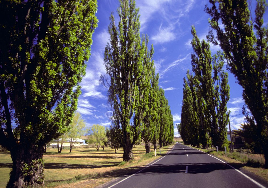 Poplar trees lining the roadside in Berridale, Snowy Mountains
