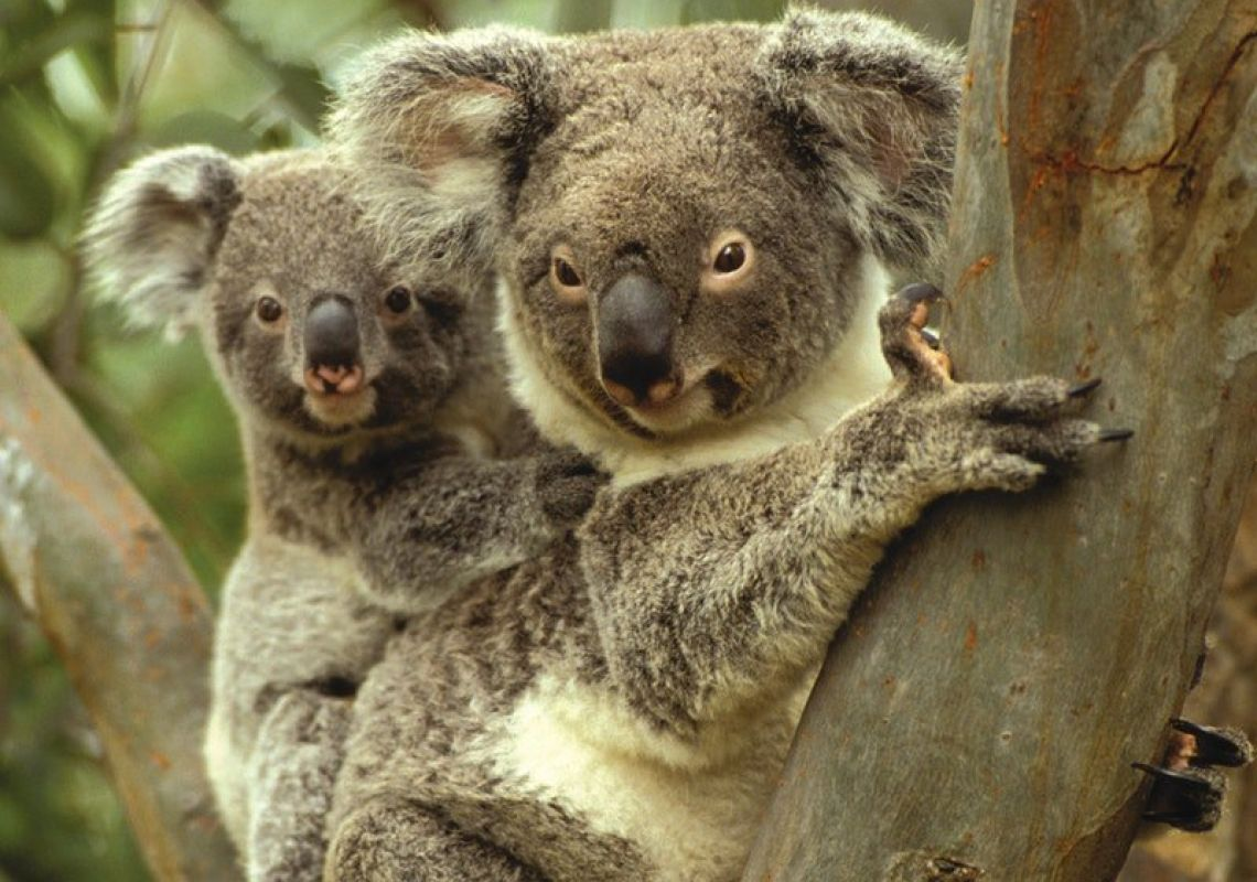 A koala mother and her joey in Gunnedah, northern NSW