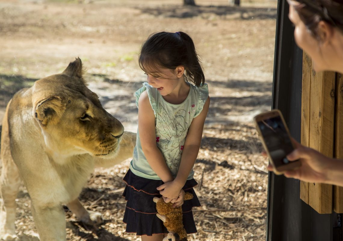 Girl poses for photo with a lioness, Taronga Western Plains Zoo, Dubbo