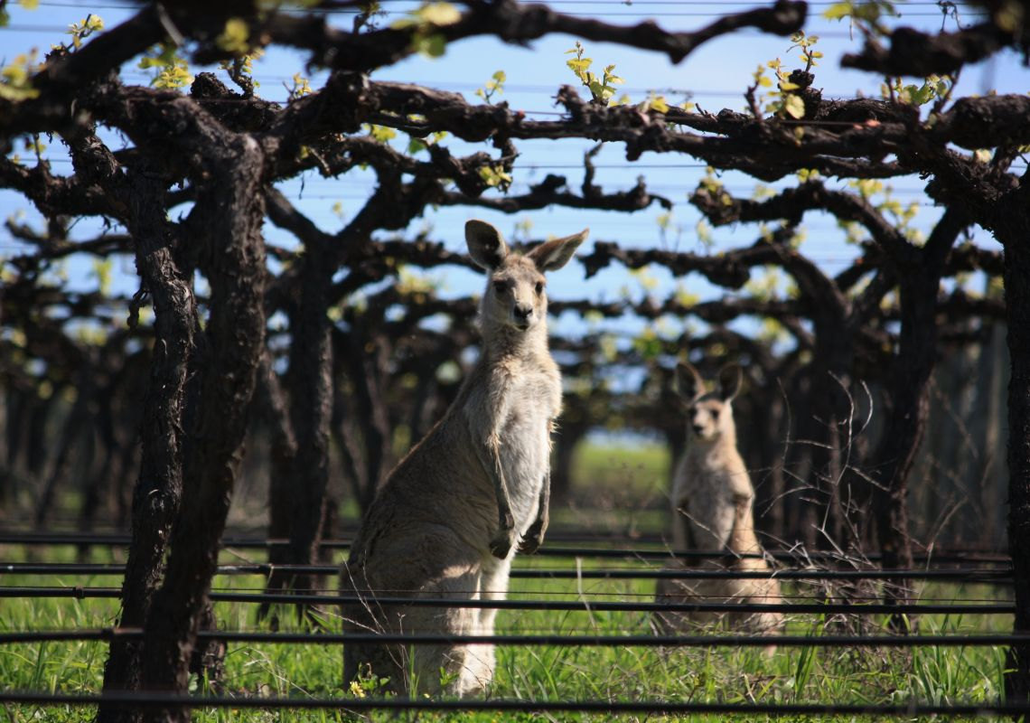 Kangaroos in the vineyard at Two Rivers Wines, Denman