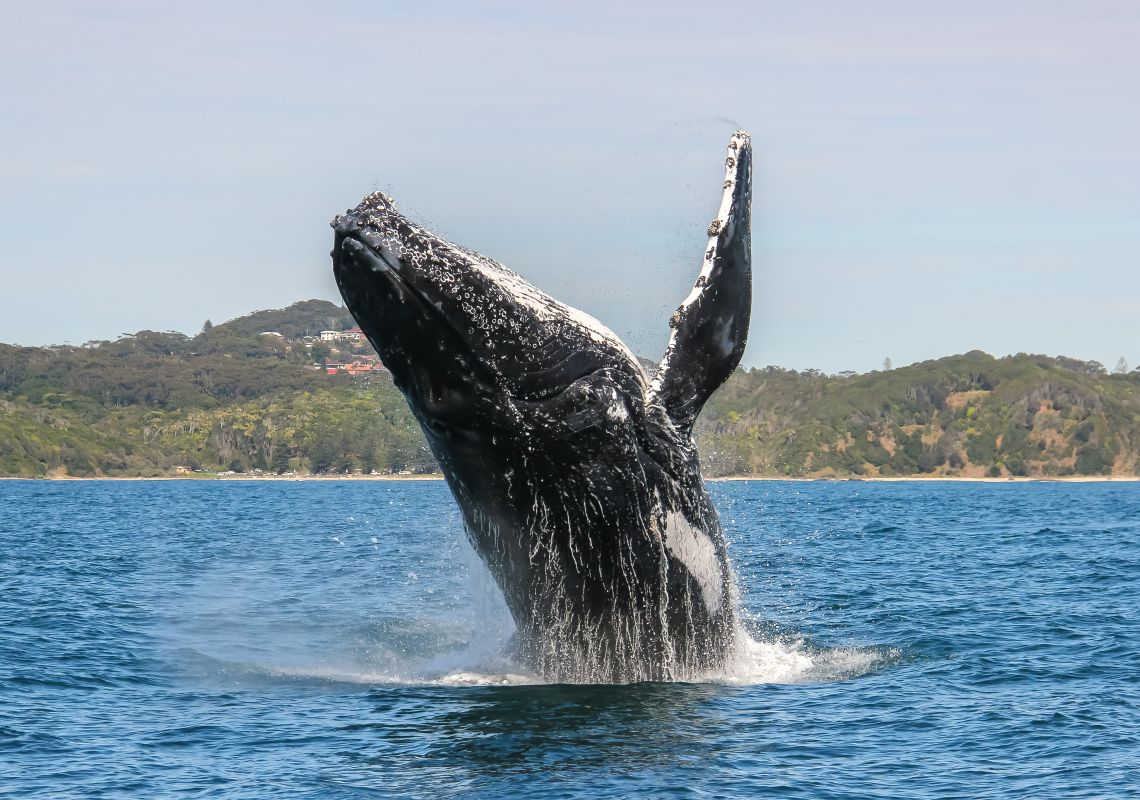 Humpback Whale breaching off Point Plomer, Port Macquarie