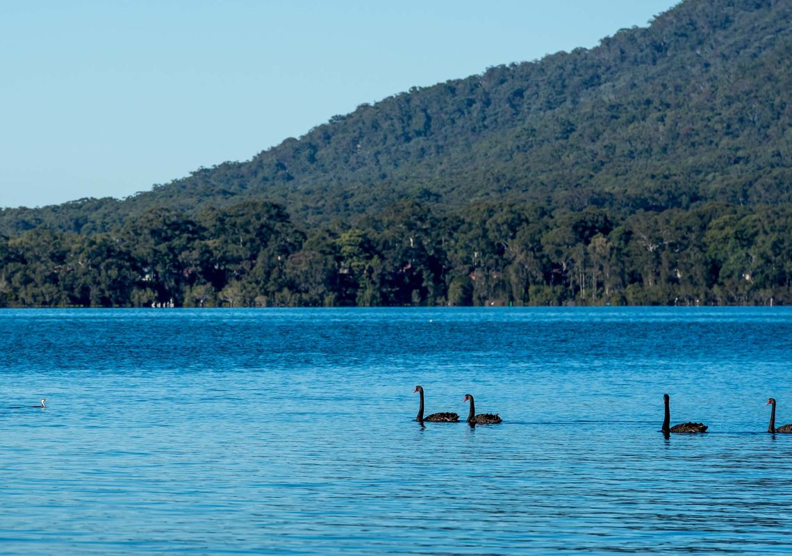 Black swans on Queens Lake near North Haven, south of Port Macquarie