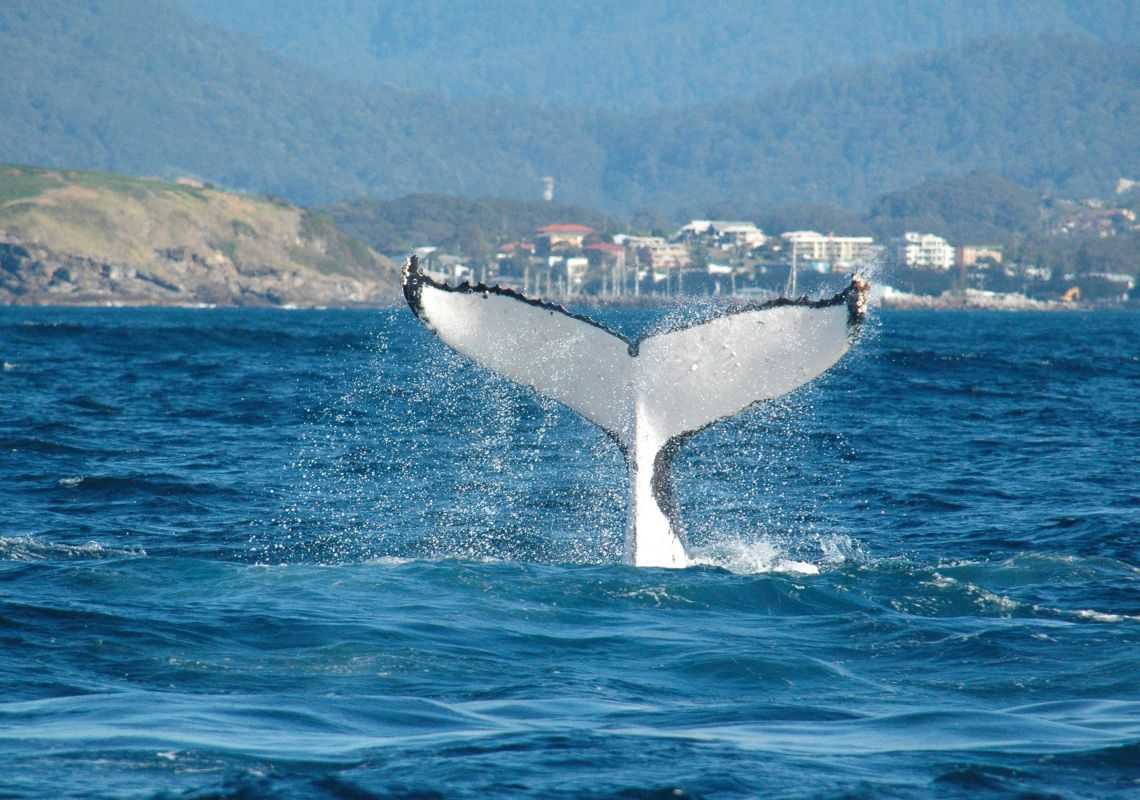 Humpback whale tail near Coffs Harbour