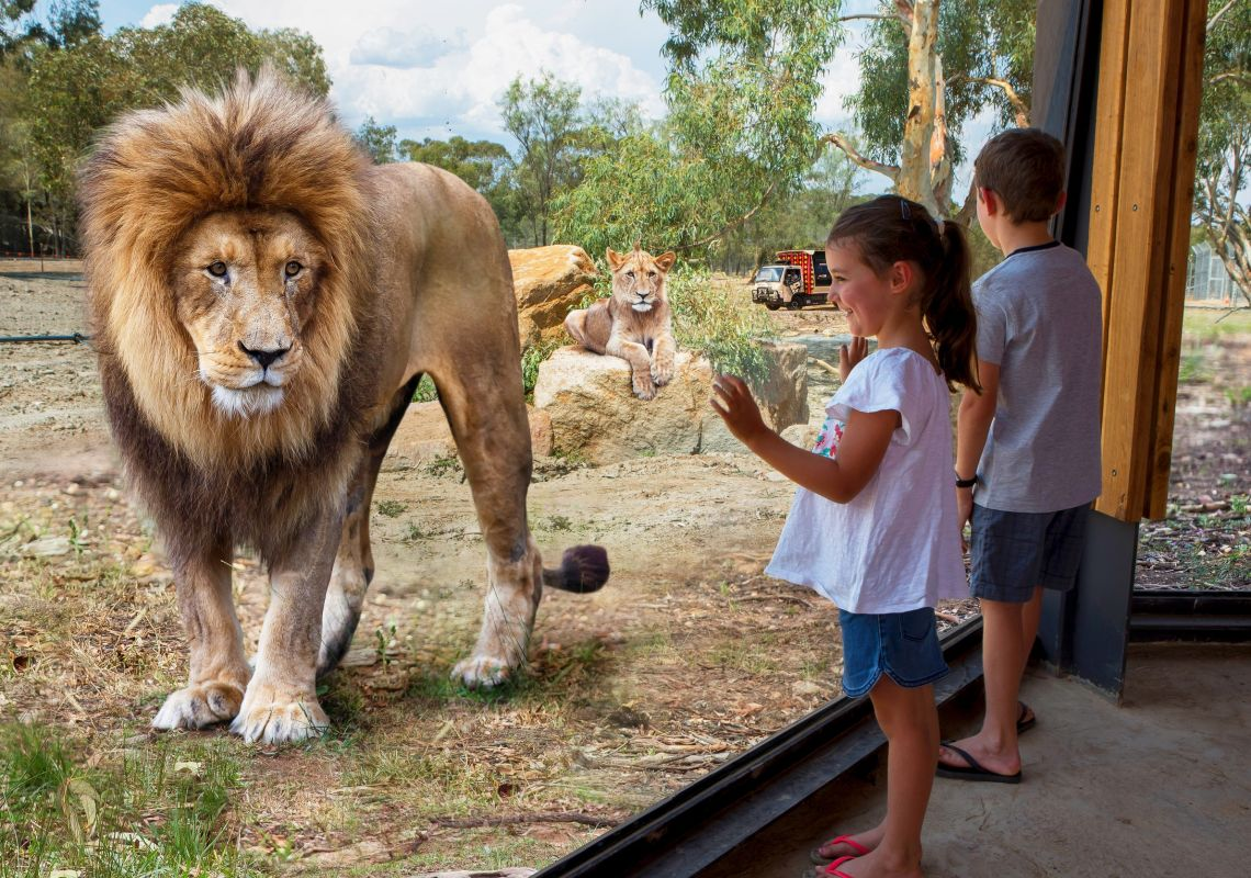 Children viewing lions up close through glass windows, Taronga Western Plains Zoo