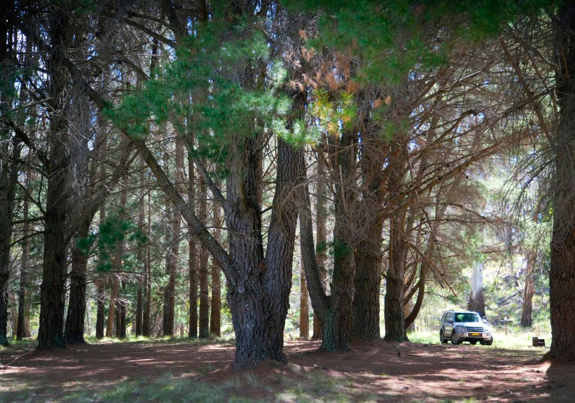 4WD parked among tall pine trees, The Pines campground, Coolah Tops