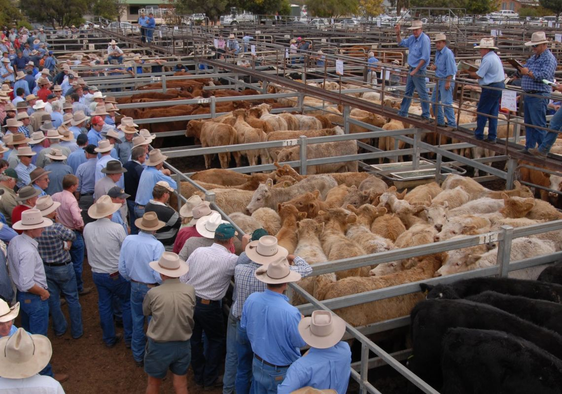 Cattle being sold in the Gunnedah Saleyards, northern NSW