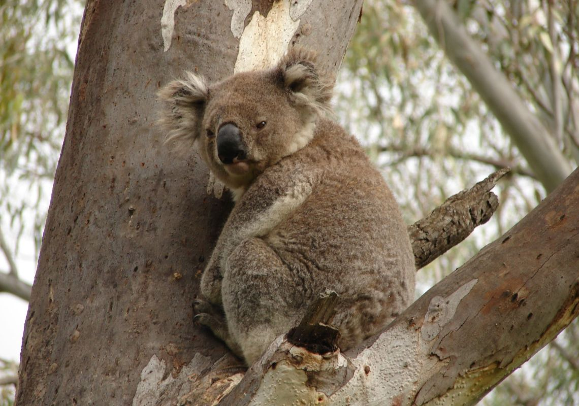 A koala sitting in a tree in the Koala Reserve, Narrandera, NSW