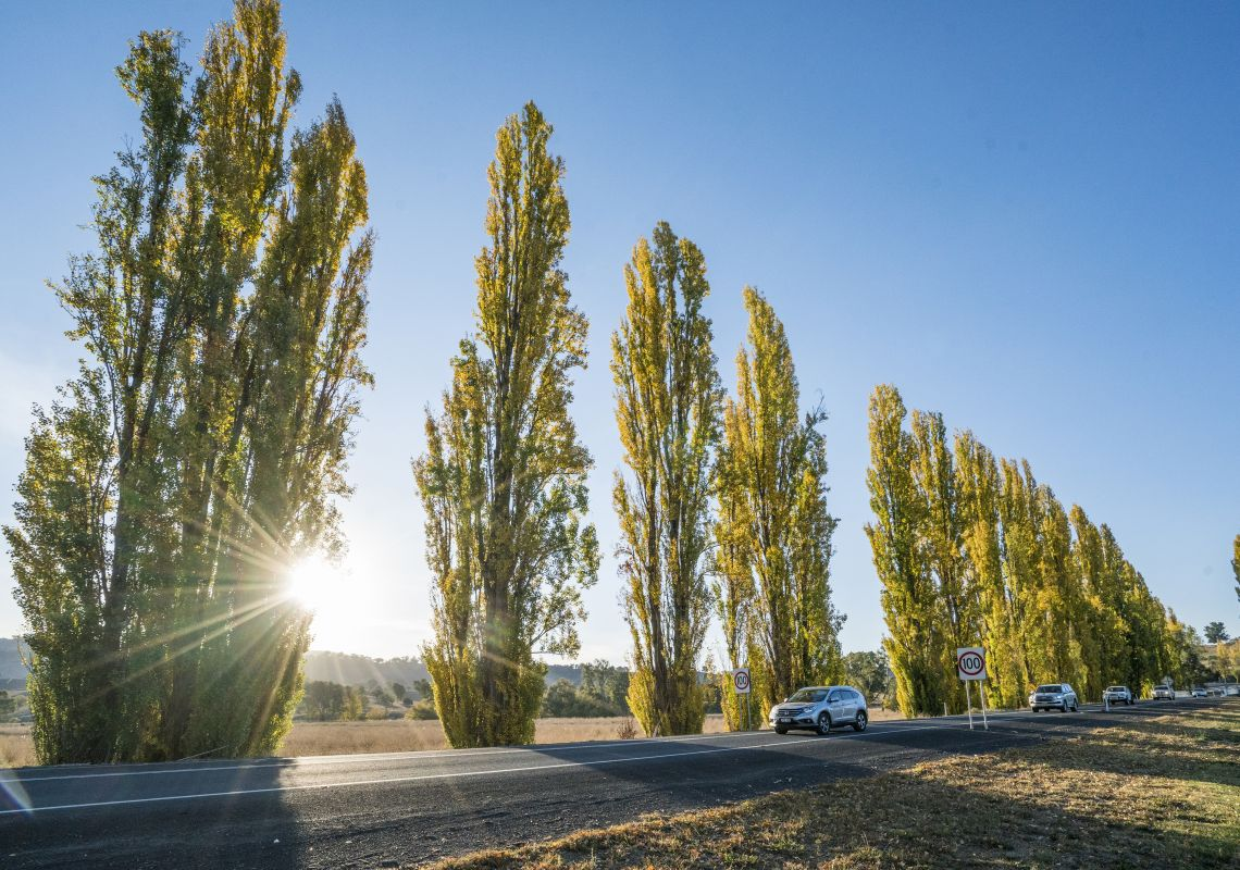 Poplar trees lining a country road running through scenic Tumut in the Snowy Valleys