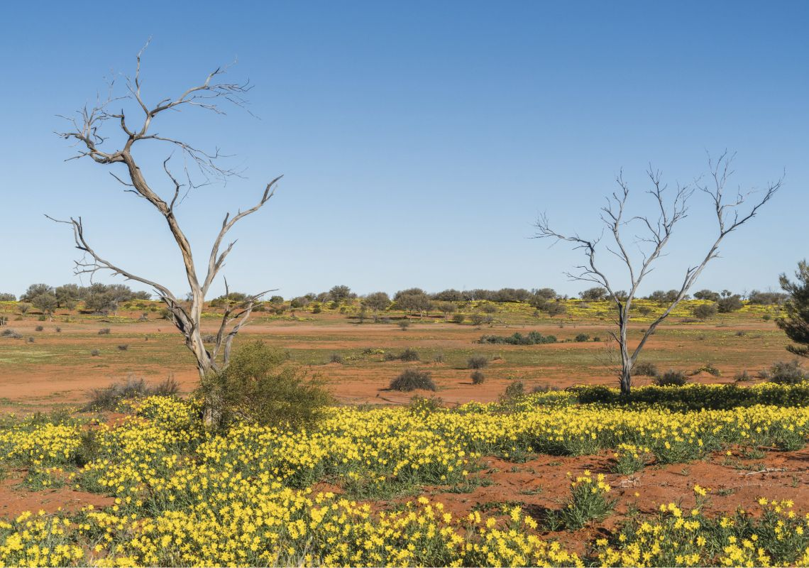 Yellow wildflowers bloom in the Sturt National Park, near Milparinka