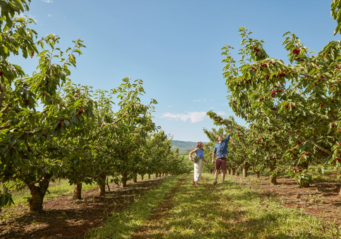 Couple cherry picking at Borrodell Vineyard Accommodation, Orange, Country NSW