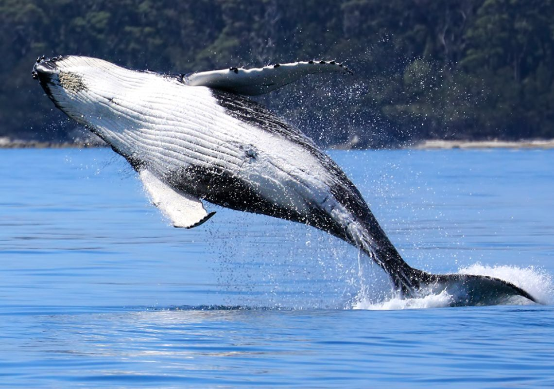 Whale jumping in Jervis Bay, South Coast