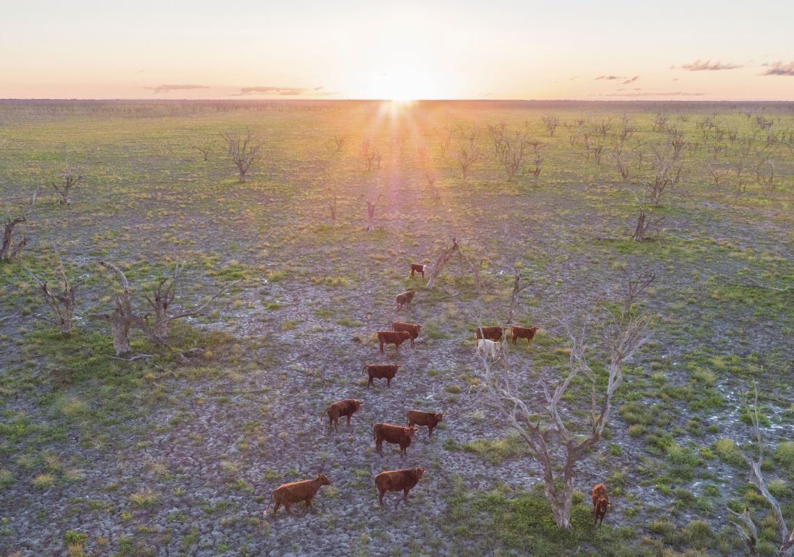 Afternoon sun shines over a herd of cattle grazing on grassland near the Menindee Lakes