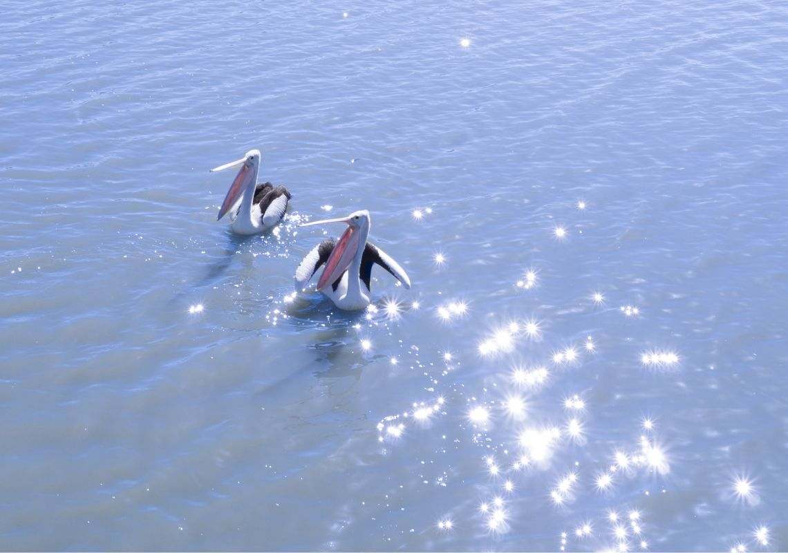 Pelicans basking in the sun on Murrumbidgee River, Yanga National Park near Balranald, Murray