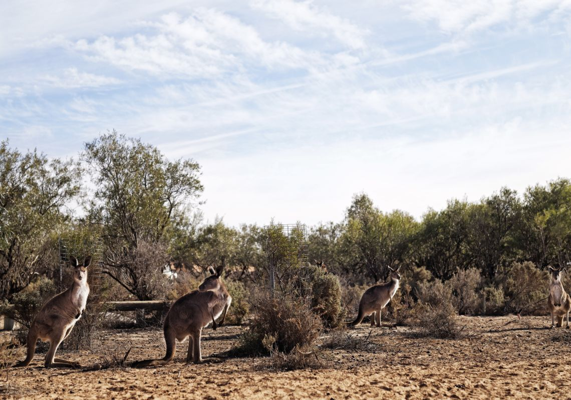 Kangaroos in the UNESCO World Heritage-Listed Mungo National Park in Outback, Country NSW
