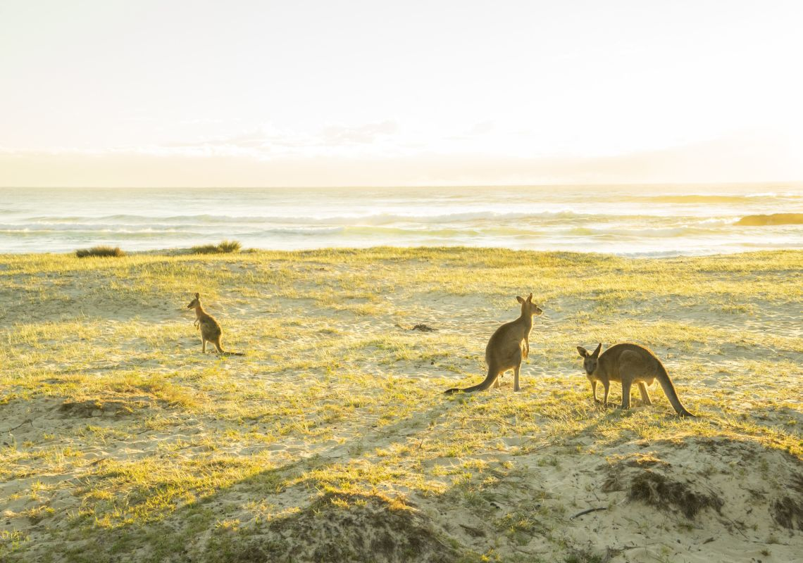 Kangaroos grazing in the morning sun at Potato Point in Erobodalla, South Coast