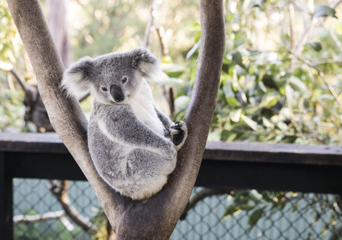 A resident koala resting in a tree at the Australian Reptile Park, Central Coast