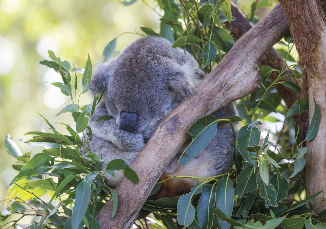 Koala sitting in a gum tree at the Port Macquarie Koala Hospital in Port Macquarie, North Coast