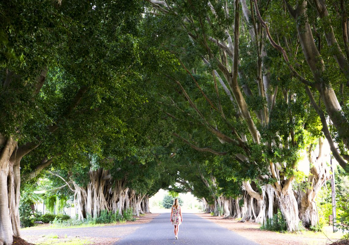 Fig Trees in Grafton, Clarence Valley, North Coast