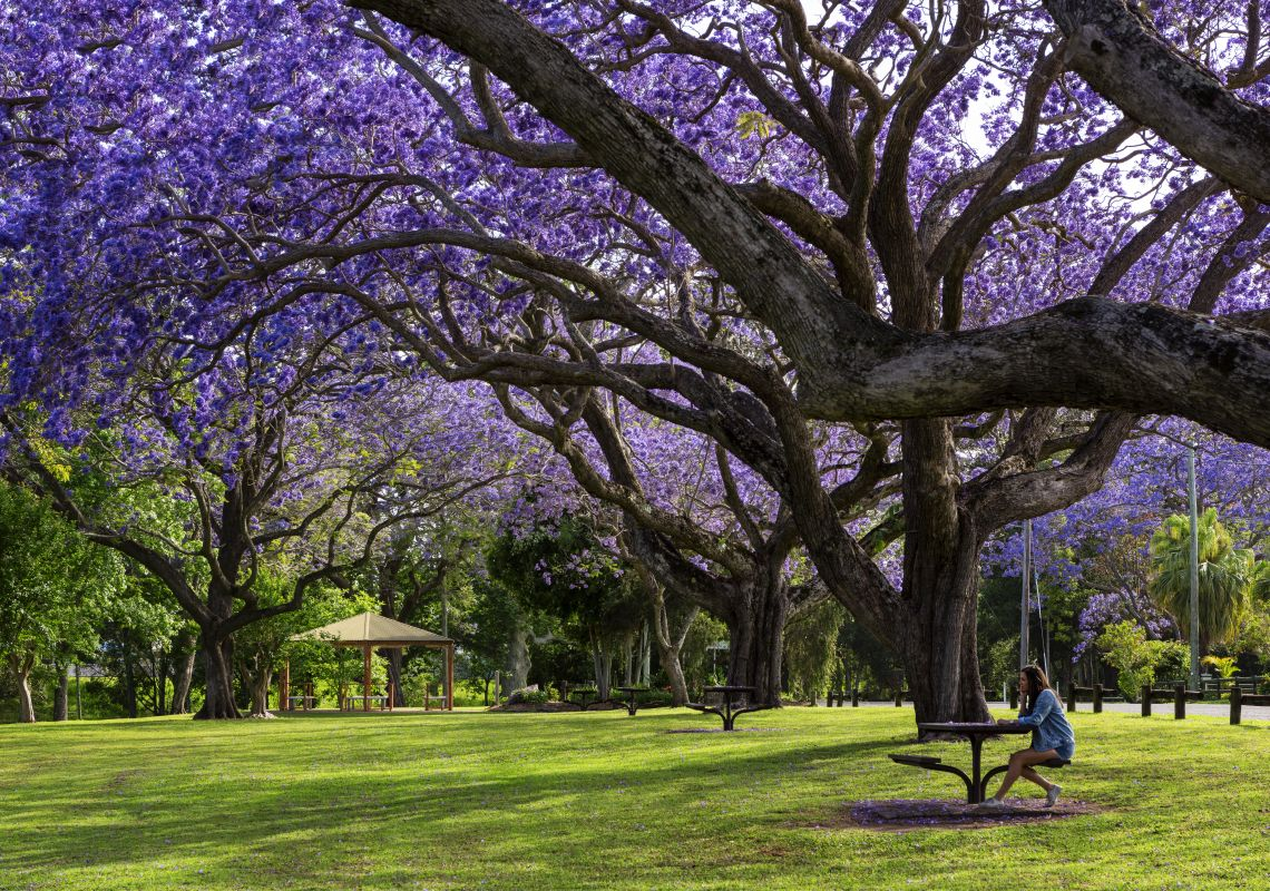Jacaranda Season in Grafton, Clarence Valley