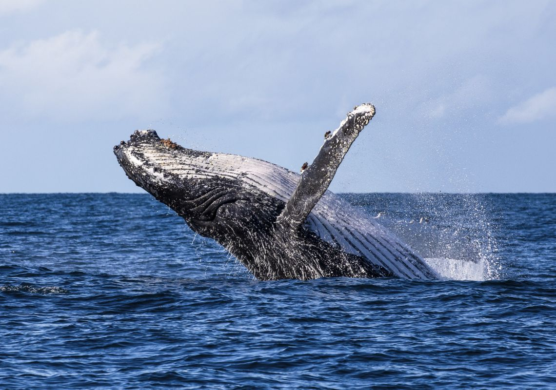 Humpback whale spotted breaching the waters in Jervis Bay during a swimming with whales tour with Dive Jervis Bay.