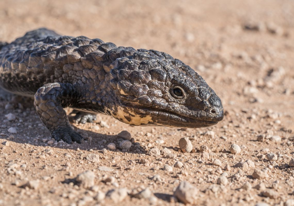 A shingleback lizard in Mungo National Park, Outback NSW