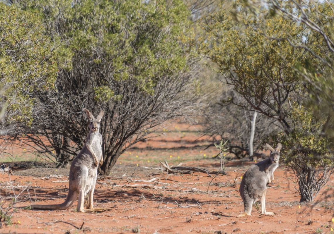 Kangaroos in the outback in Sturt National Park, Tibooburra
